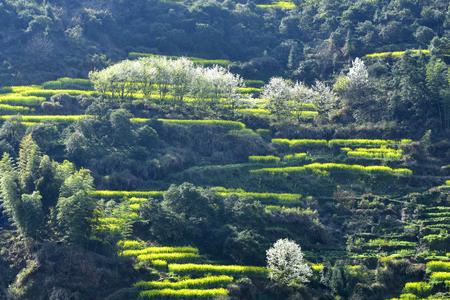 rape flowers field in Wuyuan County, Shangrao City, Jiangxi, China