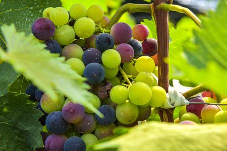 Grape growing in vineyard