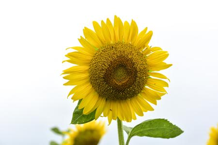 Sunflowers growing in farmland Stock Photo