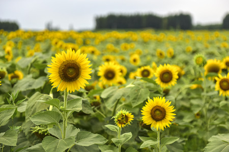 Sunflowers growing in farmland Banco de Imagens