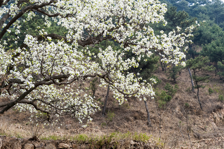 Pear trees bloom in spring