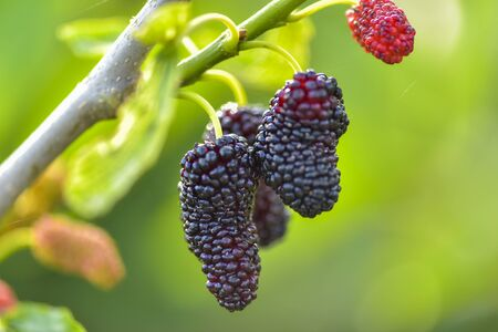 Fresh mulberries , closeup
