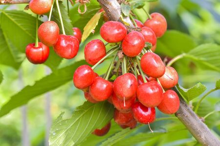 Close-up photo  of ripe and delicious red cherries Stock Photo