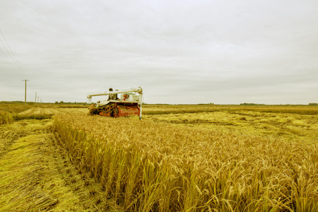 Luannan County, Hebei Province, October 20, 2016: at cloudy day, harvesters harvested rice intensively. Redakční