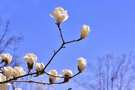 Magnolia against a blue sky Фото со стока