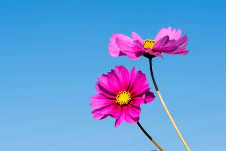 Beautiful Gesang flowers bloom in summer Zdjęcie Seryjne