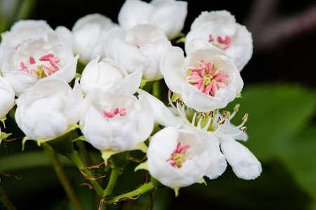 Beautiful hawthorn flowers bloom on the hawthorn tree in spring Фото со стока