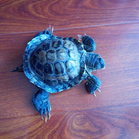chitin: Turtle