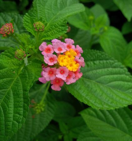 medicinal plants: Lantana Camara, herbs, medicinal plants, five-colored hydrangea, Stock Photo
