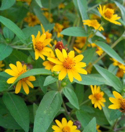 bevy: Yellow chrysanthemumin