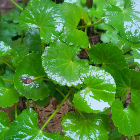 medicinal plants: Grass copper coins, coins, wine, grass, leaf, potted plants, medicinal plants, ornamental plants, decorations, ornaments, and a bunch of money, herb, Golden cuisine, Stock Photo
