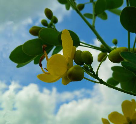 cassia: Close up of cassia surattensis