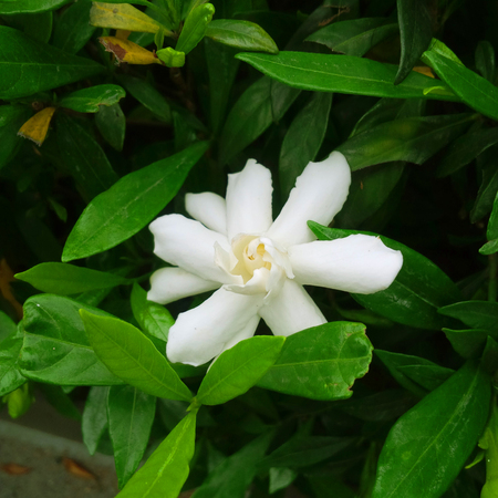 Gardenia, white flower art, fresh garden