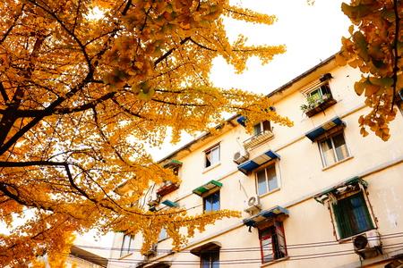 xing: Ginkgo at Kui Xing Lou Jie, Chengdu during autumn season Editorial