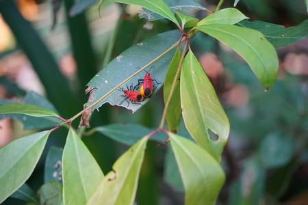 A pair of mating Physopelta gutta