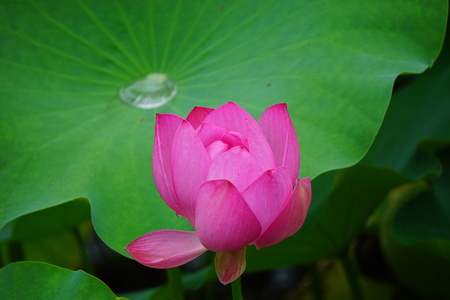 Close up view of a lotus in the lotus pond Stock Photo