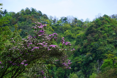 Mount Emei Wildflowers - scaly Rhododendron