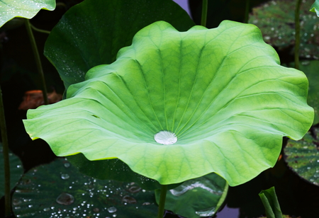 Feuille de lotus Banque d'images - 84773874