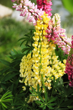 Lupine blooming Banque d'images