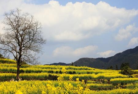 Wuyuan rape flower field
