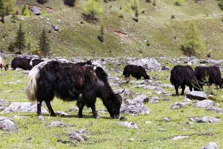 Yak in the pasture