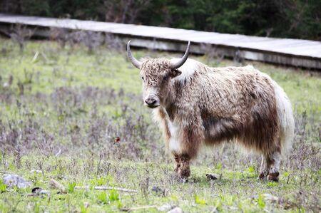 White yak in the pasture