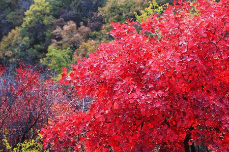 Boshan red leaves Banco de Imagens