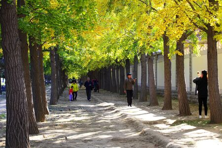 Ginkgo Road with autumn tree Banco de Imagens