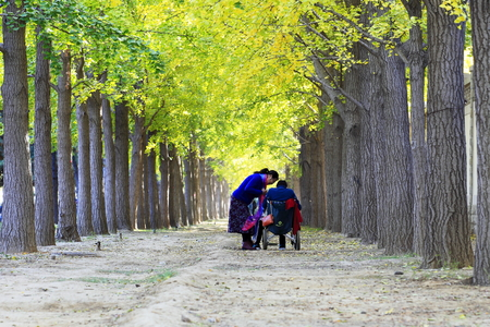 Ginkgo Road with autumn tree Editorial
