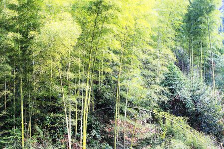 Wuyuan bamboo forest scenery