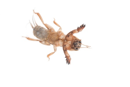 saboteur: a mole cricket isolated on white background Stock Photo