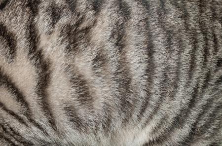 pelage: Closeup of cat pelage
