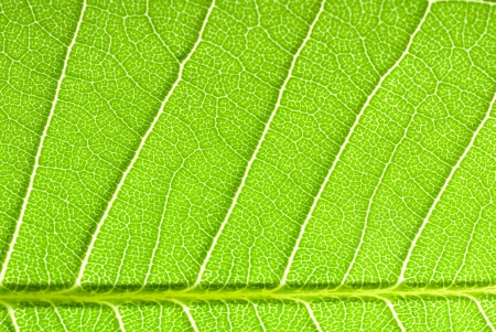 nervure: leaf vein Stock Photo