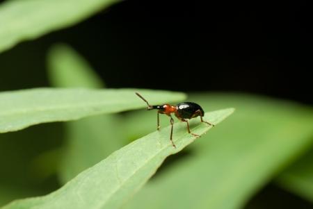 injurious: a beetle on leaf.