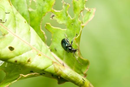 injurious: un escarabajo en la hoja. Foto de archivo