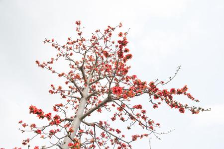 Kapok Reklamní fotografie