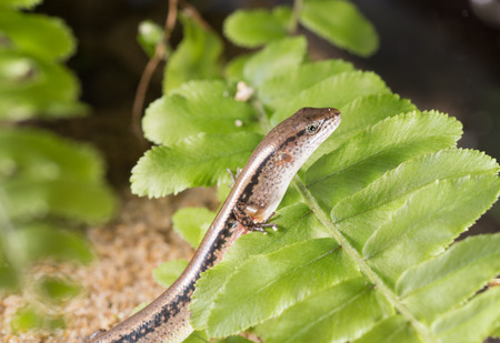 A Scincella reevesii rest on a leaf photo