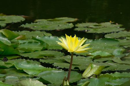 nymphaea: A nymphaea in a pond