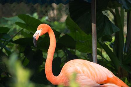 flamenco ave: Pájaro del flamenco Primer en zoológico