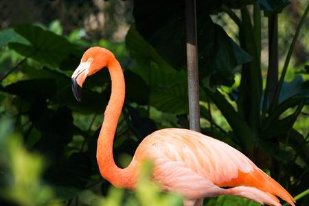flamenco ave: P�jaro del flamenco Primer en zool�gico