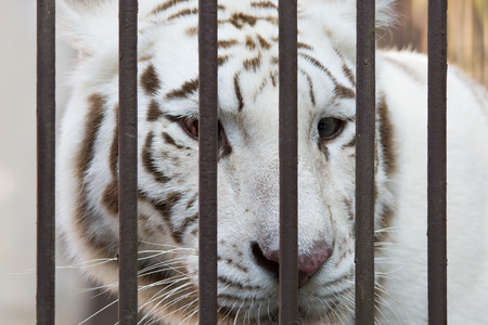 A white tiger in cage