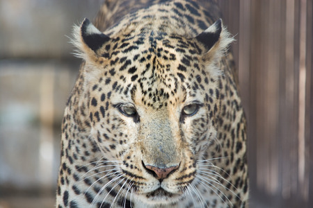 frightful: A leopard Walk in the cage