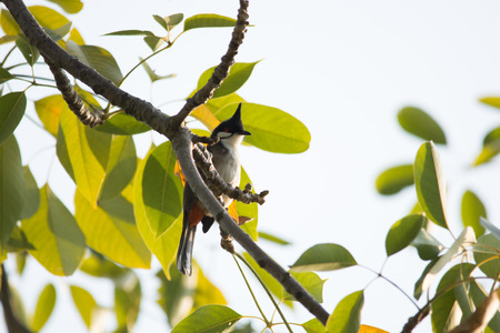 A Red-whiskered Bulbul stand on branch photo