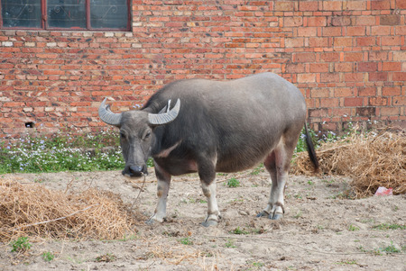 grassplot: A water carabao eating grass beside a old house