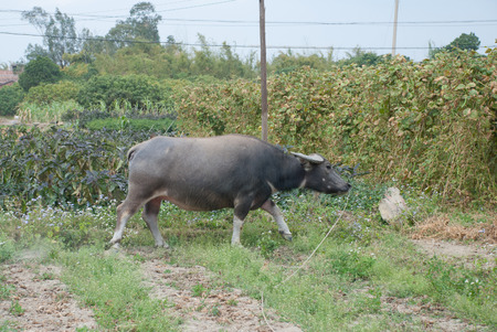 southward: A water carabao in farmland Stock Photo