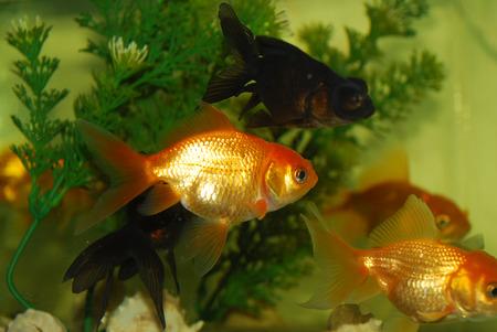 Goldfish in a fish tank Stock Photo