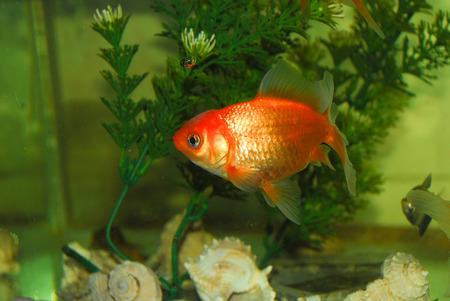 fish tank: Goldfish in a fish tank Stock Photo
