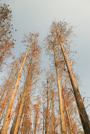 Bottom view of the metasequoia forest and sky.