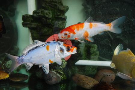 fish tank: carp in a fish tank