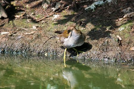 fledgling: A fledgling of Gallinula chloropus finding food in side.